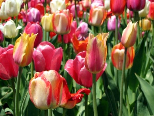 springtime_tulips